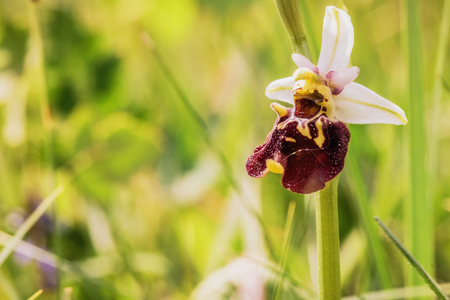 mimicry: Wild Bumblebee Orchid. Ophrys bombyliflora. Rare endangered spring flower. Mimicry Flower. Macro with very shallow depth of field. Lovely vibrant colors