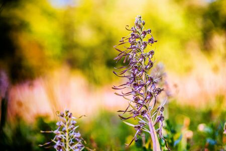 lizard in field: Orquídea Lagarto rara en un prado en Baviera, Alemania. Flor púrpura. Macro con muy poca profundidad de campo