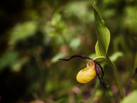 lady slipper: Lady Slipper Orchid. Golden Orange rare endangered wild spring orchid from Bavaria. Lovely colors. Macro with shallow depth of field