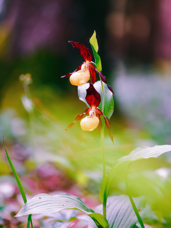 lady slipper: Lady Slipper Orchid. Rare Endangered Golden wild spring orchid from Bavaria. Lovely colors. Macro with shallow depth of field