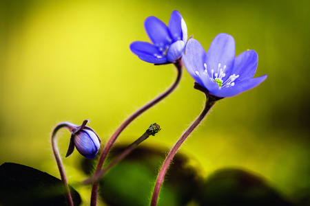 Purple Spring Flower. Lovely Vibrant Colors. Macro Picture with a very shallow depth of field photo