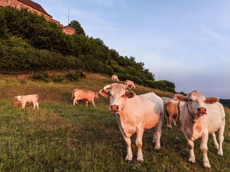 campagne rural: White Cows au ch�teau Giechburg en Franconie, Allemagne. Belle Agriculture Picture in rural Campagne Bavi�re