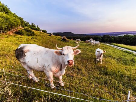 rural countryside: White Cows at Giechburg Castle in Franconia, Germany. Lovely Agriculture Picture in Rural Countryside Bavaria