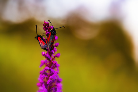 zygaena: Two Wild Zygaena purpuralis, transparent burnet moth in the franconian countryside of Bavaria on a fragrant orchid, Germany on a warm summer evening. Macro with very shallow depth of field Stock Photo