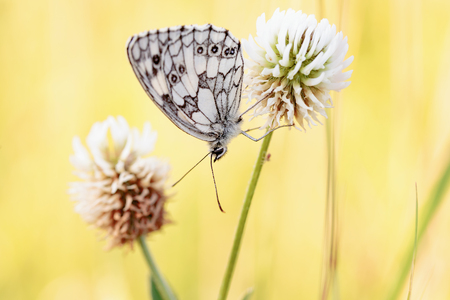 black eyes: Marbled White Butterfly in the evening sun in Bavaria. Chessboard Butterfly Stock Photo
