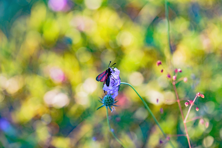 zygaena: Wild Zygaena purpuralis, transparent burnet moth in the franconian countryside of Bavaria on a fragrant orchid, Germany on a warm summer evening. Macro with very shallow depth of field