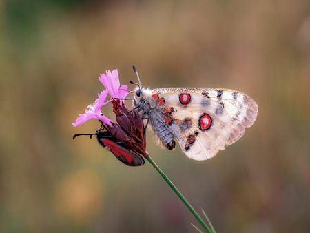 red eye: Red Apollo Butterfly. Parnassius apollo in the hills of Upper Franconia, Germany. Rare endangered white butterfly with characteristic red eye on the back. Macro with very shallow depth of field Stock Photo