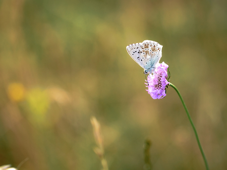 gossamer: Blue Gossamer winged Butterfly in the evening sun with blurred . Macro with very shallow depth of field Intended Blurredness. Lovely Bokeh Stock Photo