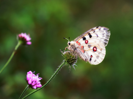 characteristic: Red Apollo Butterfly. Parnassius apollo in the hills of Upper Franconia, Germany. Rare endangered white butterfly with characteristic red eye on the back. Macro with very shallow depth of field Stock Photo