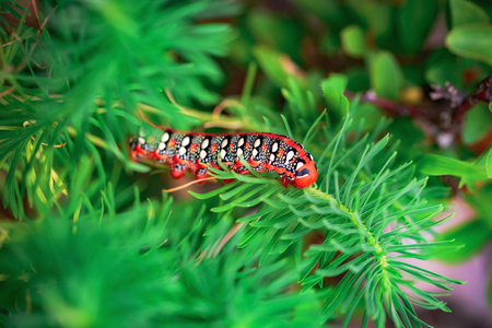 hyles: Poisonous Red Caterpillar of a Spurge Hawk Moth on a conifer in franconian Bavaria, Germany. Hyles euphorbiae Stock Photo