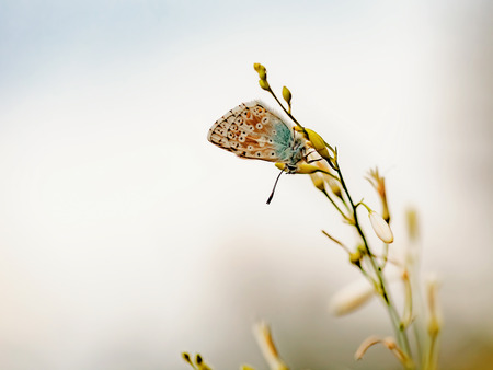gossamer: Blue Gossamer winged Butterfly in the evening sun with blurred background. Macro with very shallow depth of field Intended Blurredness. Lovely Bokeh