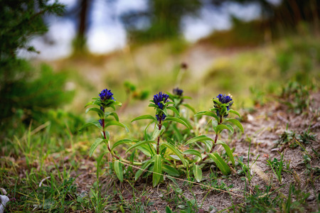 gentian flower: Wildlife Picture of a rare star gentian in Bavaria