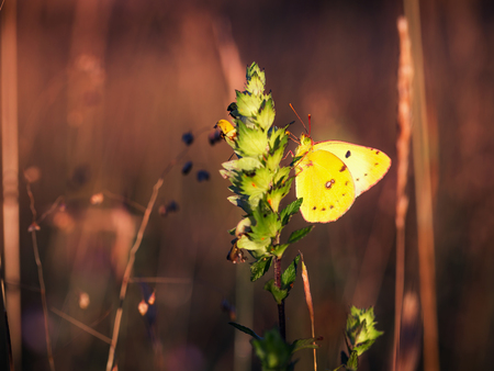 clouded: Golden Butterfly. Colias Hyale. Pale Clouded Yellow Butterfly with golden eight. Macro with very shallow depth of field on a warm summer evening
