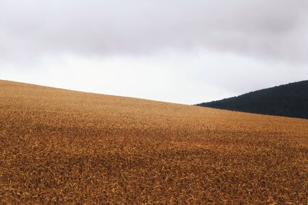 rural countryside: Rainy Corn Field Outdoors Landscape. Rural Countryside of Bavaria, Germany on a rainy summer day