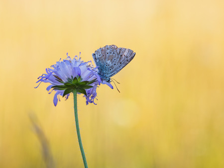 papillon: Wild Butterfly in Bavaria, Germany on a warm summer evening. Wildlife Macro with very Shallow Depth of Field