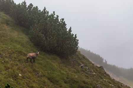 dreary: Wild Chamois in the high mountains of Tyrol in Austria in the Karwendel mountain range of the Alps. Desolate and bleak dreary landscape on a rainy and foggy august day. Amazing mountain climbing animals