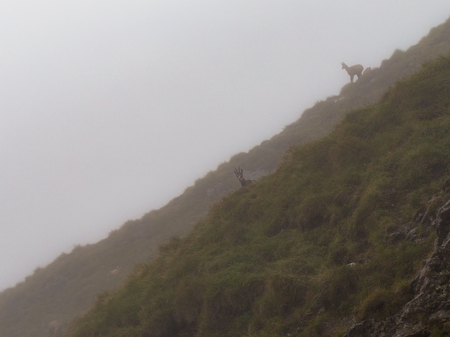 bleak: Wild Chamois in the high mountains of Tyrol in Austria in the Karwendel mountain range of the Alps. Desolate and bleak dreary landscape on a rainy and foggy august day. Amazing mountain climbing animals