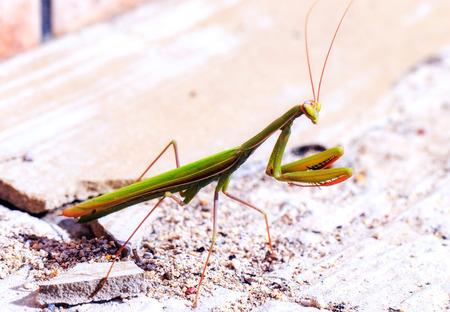 praying mantis: Macro of a Praying Mantis in Sicily, Italy on a warm autumn november day