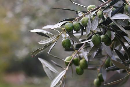 olivo arbol: Exquisitas aceitunas verdes en un olivo en Sicilia, Italia al sur de Palermo en Fall noviembre