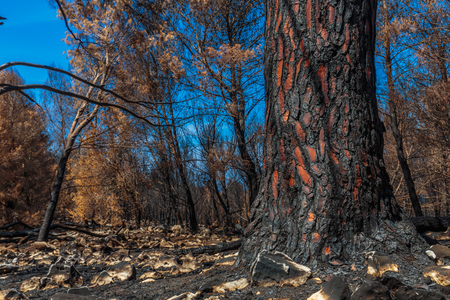 mediterranean forest: Forest Fire Aftermath in Sicily, Italy. Summer Landscape of a burned forest, set in flames by arsonists on Monte Pellegrino near Palermo. Burned black and dead trees in mediterranean atmosphere Stock Photo