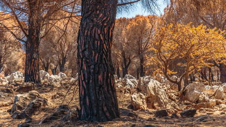 raiser: Forest Fire Aftermath in Sicily, Italy. Summer Landscape of a burned forest, set in flames by arsonists on Monte Pellegrino near Palermo. Burned black and dead trees in mediterranean atmosphere Stock Photo