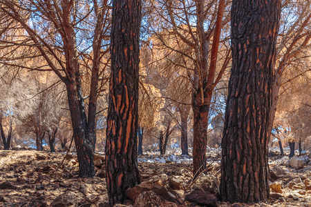 arsonist: Forest Fire Aftermath in Sicily, Italy. Summer Landscape of a burned forest, set in flames by arsonists on Monte Pellegrino near Palermo. Burned black and dead trees in mediterranean atmosphere Stock Photo
