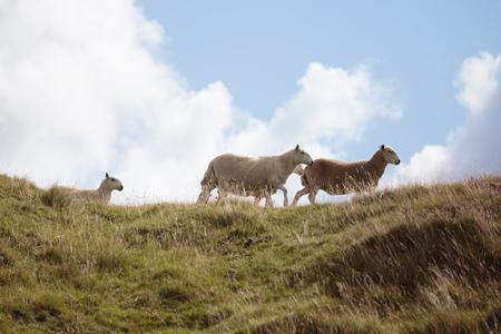 Landschaft-Landschaft von Wales. Wandern in den Hügeln von Zentral-Wales in Großbritannien im August Sommer Standard-Bild - 87593928