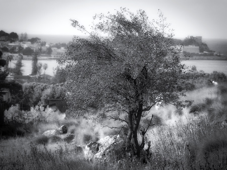 Black and White isolated tree in the countryside of Sicily Standard-Bild
