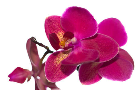 beautiful pink Orchid flower on a light background isolated Stock Photo