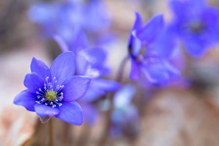 liverwort: Blue forest flowers among dry autumn leaves. Hepatica nobilis.