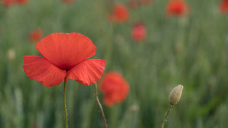 red poppies on the field big flowers.