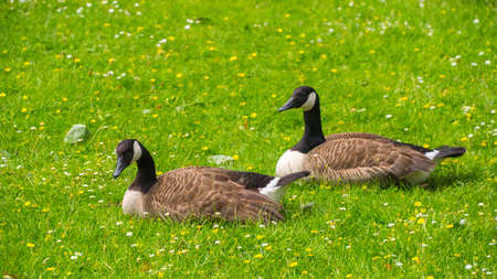 Geese grazing on the grass.