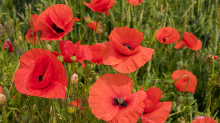 red poppies on the field, big flowers. Stock Photo