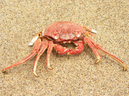 RED CRAB ON THE SAND photo