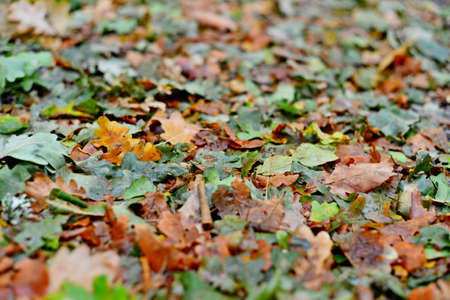Autumn forest fruit background. Acorns on tree bark and autumn colorful leaves with copyspace. background and texture of trees, bark and boards Stock Photo