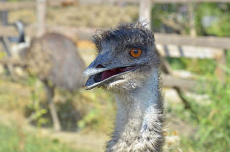 Funny ostrich head closeup with big eye and pink beak with green background and selective focus Stock Photo