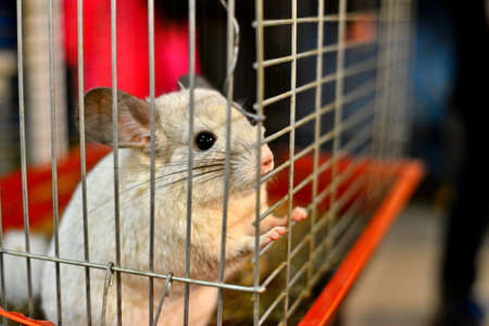 White, beautiful chinchilla in a cage, in a zoo. Stock Photo