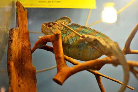 Chameleon sits on a wooden branch in a cage, in a zoo. Close-up.