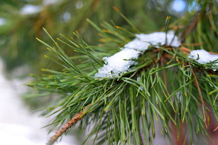 A green pine branch in the snow in the winter. The branch was eaten in the spring. Close-up. Stock Photo