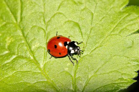 Little red ladybug crawling on a green leaf, macro Stock Photo