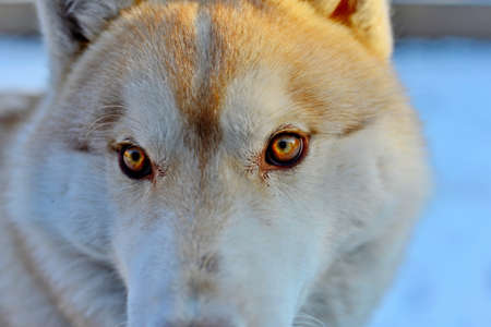 Siberian husky in the snow, fluffy dog close-up.