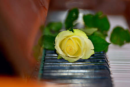 Beautiful yellow rose on black keys of a brown piano Stock Photo