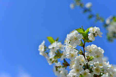 Beautiful branches of a blossoming tree against a blue sky