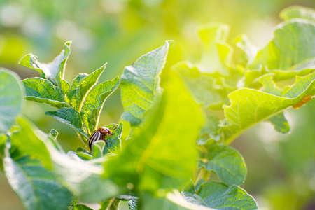 colorado beetle on leaves of potato Stock Photo