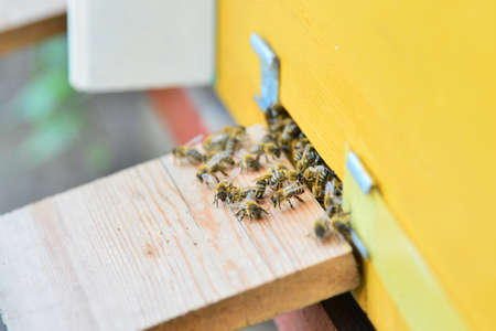 Bees near the beehive on the arrival on the pasika close-up.