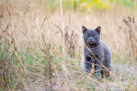 A beautiful gray cat sits in the dry grass