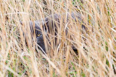 A gray cat hid in the dry grass and looks out of it, looking with one eye Stock Photo