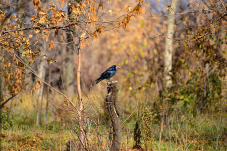 Black raven sits on a table in the forest and holds a walnut in its beak