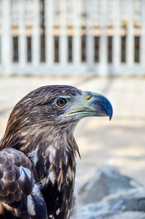 Brown eagle, side view, close-up. Stock Photo