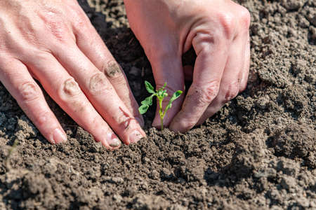 A woman is planting tomato seedlings and using her hands to tamp the ground for better rooting of the sprouts.